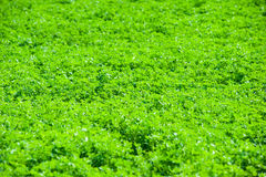 Большая трава живого клевера Стоковые Изображения RF