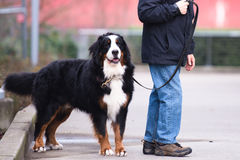 Большая хорошая собака на поводке его предпринимателя Стоковое Фото