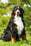 Большая хорошая счастливая собака горы Bernese Стоковые Изображения