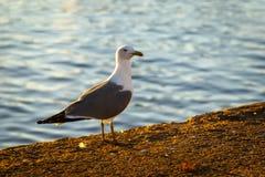 Большая чайка моря в утре Стоковые Фотографии RF