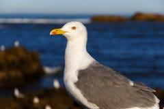 Большая чайка моря в утре Стоковая Фотография