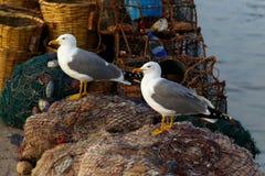 Большая чайка моря в утре Стоковые Изображения