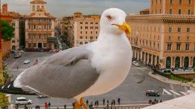 Большая чайка моря на венецианском квадрате в Риме - аркаде Venezia стоковое фото
