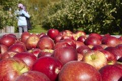 Большая часть яблок в деревянной коробке с концом вверх в саде Стоковые Изображения RF