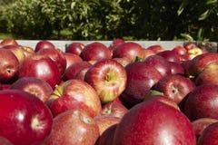 Большая часть яблок в деревянной коробке с концом вверх в саде Стоковые Фото