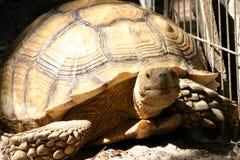 Большая черепаха наслаждаясь солнцем Стоковое Фото