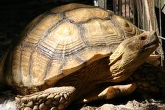 Большая черепаха на движении Стоковые Фотографии RF