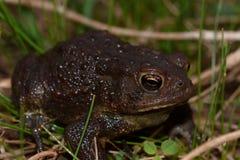 Большая черная жаба Стоковые Изображения RF