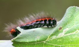 Большая черная и красная гусеница Стоковое Изображение RF