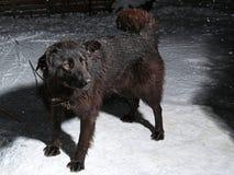 Большая черная собака на цепи Стоковые Изображения