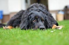 Большая черная собака howavart Стоковое Фото