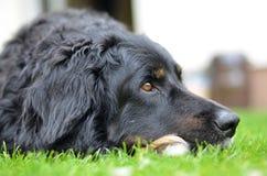 Большая черная собака howavart Стоковое Изображение