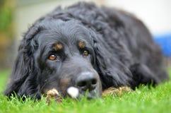 Большая черная собака howavart Стоковые Фото