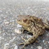 Большая лягушка на дороге Стоковое Изображение RF