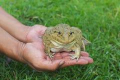 Большая лягушка на руках фермеров Стоковое Изображение