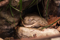 Большая лягушка Стоковая Фотография RF