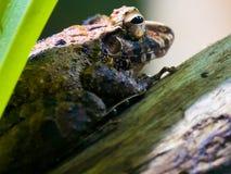 Большая лягушка Стоковое Изображение RF