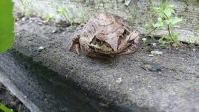 Большая лягушка Стоковое фото RF