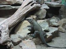Большая ящерица Стоковое фото RF