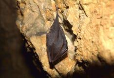 Большая horseshoe летучая мышь (ferrumequinum Rhinolophus) Стоковое Изображение RF