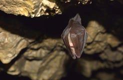 Большая horseshoe летучая мышь (ferrumequinum Rhinolophus) Стоковое Фото