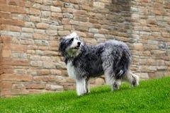 Большая shaggy собака Стоковые Фотографии RF