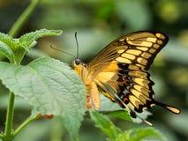 Большая striped бабочка на лист Стоковые Изображения