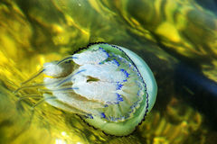 Больше медуз глубины плавая в лагуну моря в результате t Стоковая Фотография RF