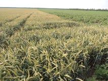 Больше пшеницы Стоковое Изображение RF