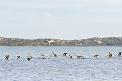 Большие австралийские птицы воды пеликана летая в линию на Coorong n Стоковые Изображения RF