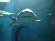Большие акулы плавая в воде на аквариуме с другими рыбами Стоковые Фото