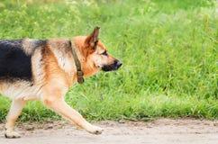Большие бега собаки на песочной дороге Часть животного тела ` s Стоковое Изображение RF