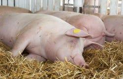 Большие белые свиньи спать на соломе Стоковое Фото