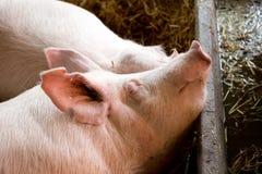 Большие белые свиньи спать на соломе Стоковая Фотография