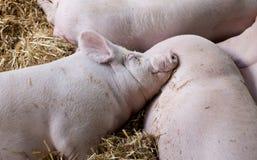 Большие белые свиньи спать на соломе Стоковое фото RF