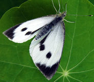 Большие белые brassicae Pieris бабочки Стоковое Изображение