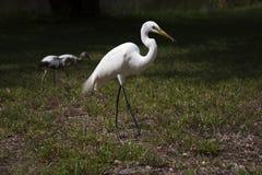 Большие белые egret и ibis Стоковые Фотографии RF