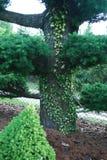 Большие бонзаи растя в саде Стоковое Изображение