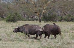 Большие буйволы в Африке Стоковые Изображения