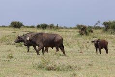 Большие буйволы в Африке Стоковое Изображение RF