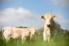 Большие быки Стоковая Фотография