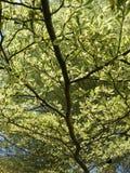 Большие ветви Стоковое Изображение RF