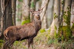 Большие величественные олени в лесе Стоковое фото RF