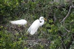 Большие гнезда Egret Стоковая Фотография