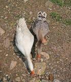 Большие гусыни в дворе фермы quacking Стоковое Изображение RF
