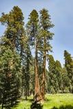 Большие деревья секвойи в национальном парке секвойи около гигантской деревни ar Стоковое Изображение