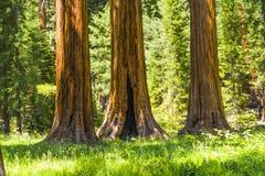 Большие деревья секвойи в секвойе Стоковое Изображение