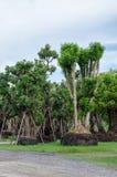 Большие деревья для продажи. Стоковые Фотографии RF