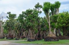 Большие деревья для продажи. Стоковые Изображения RF