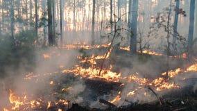 Большие лесной пожар и облака дыма в сосне стоят видеоматериал
